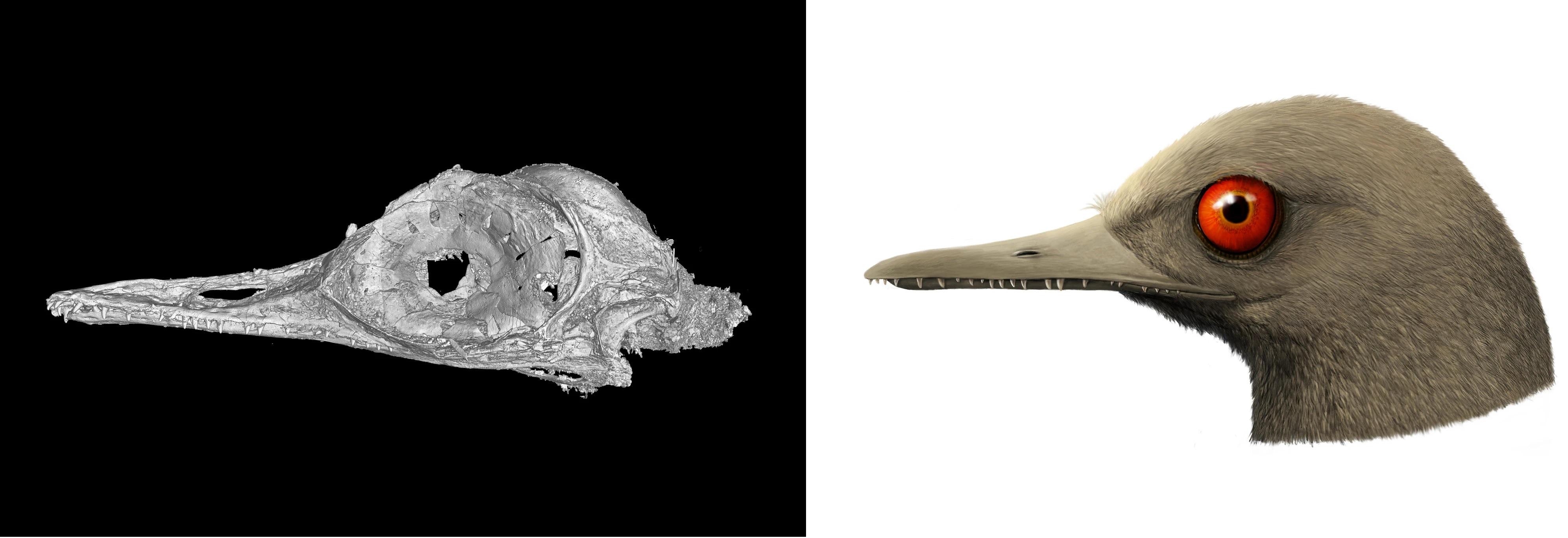 Oculudentavis-schedel  - Foto Li Gang - Reconstructie Han Zhinxin